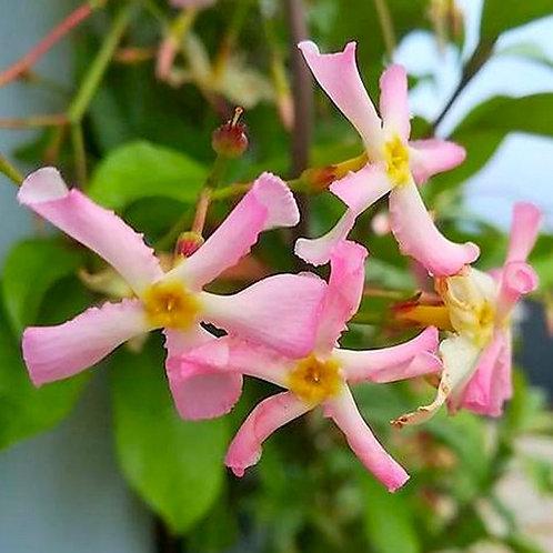 Trachelospurmum asciaticum Pink Showers 3L