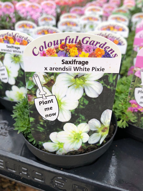 Saxifrage White Pixie