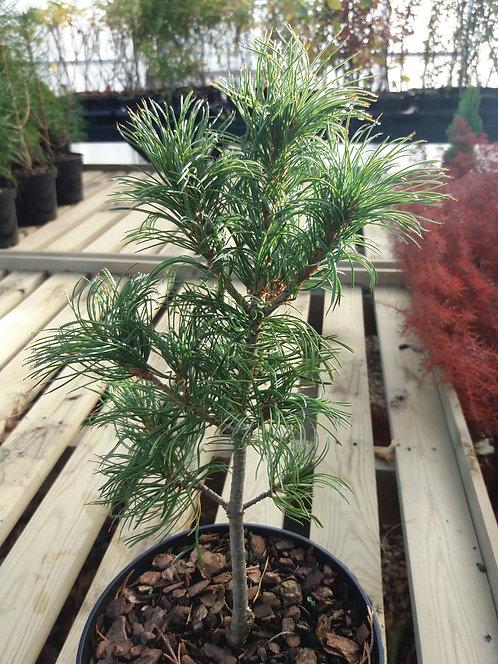 Pinus parviflora Schoons Bonsai 3L