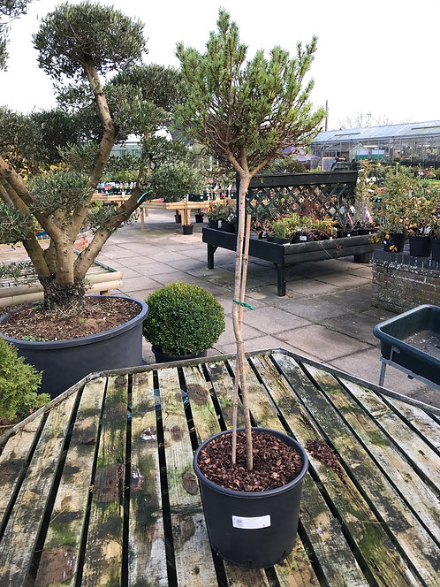 Pinus sylvestris Padworth 20L