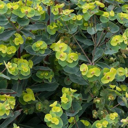 Euphorbia polychroma Purpurea 3L