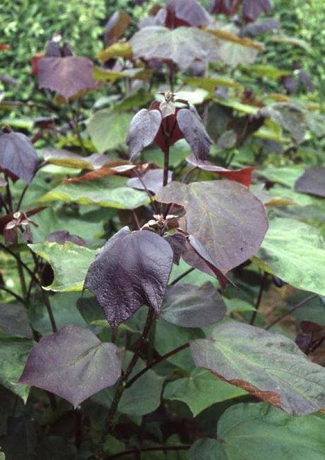 Catalpa x eru 'Purpurea' 12L