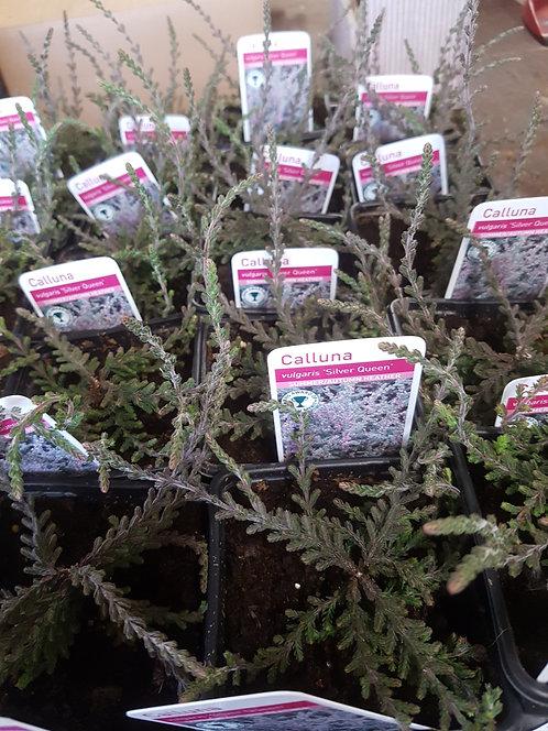 Calluna vulgaris 'Silver Queen' 9 cm