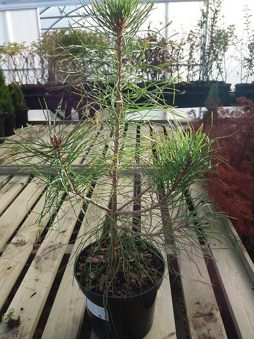 Pinus tabulaeformis (Chinese Red Pine) 3L