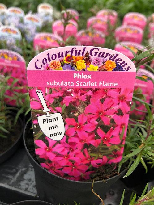 Phlox Scarlet Flame
