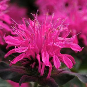 Monarda Balmy Rose 1.5L
