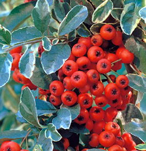 Pyracantha Mohave Silver 3L