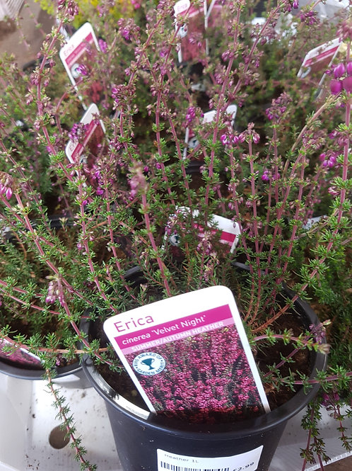 Erica cinerea 'Velvet Night' 1L