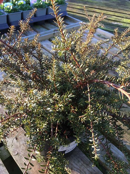 Podocarpus Young Rusty 3L