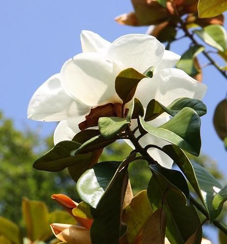 Magnolia gran.'Exmouth' 12L