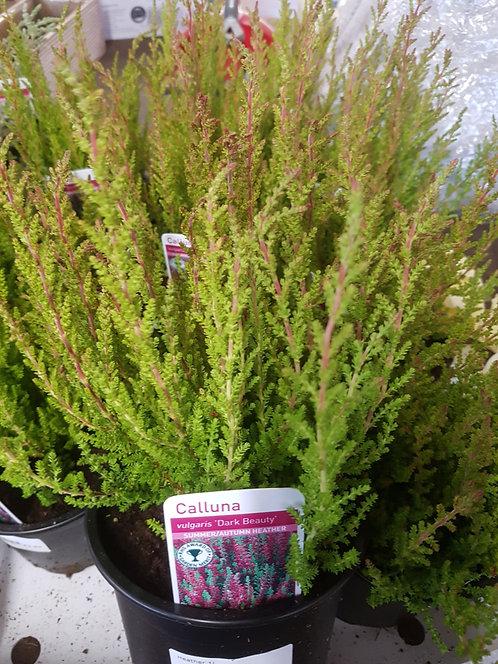 Calluna vulgaris 'Dark Beauty' 1L