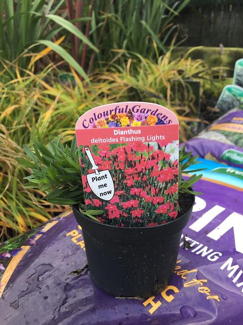 Dianthus 'deltoides Flashing Lights ' 9cm