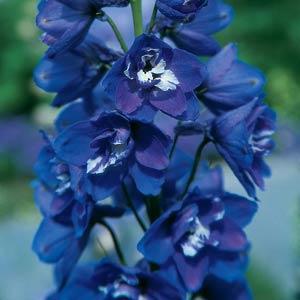 Delphinium Guardian Blue 3L
