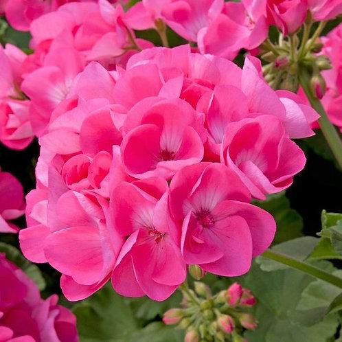 Geranium Designer Hot Pink 14cm
