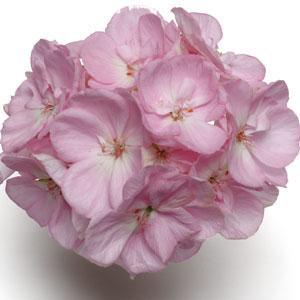 Geranium Designer Light Pink 14cm