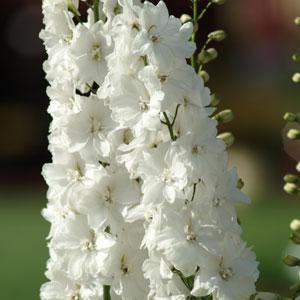 Delphinium Guardian White 3L