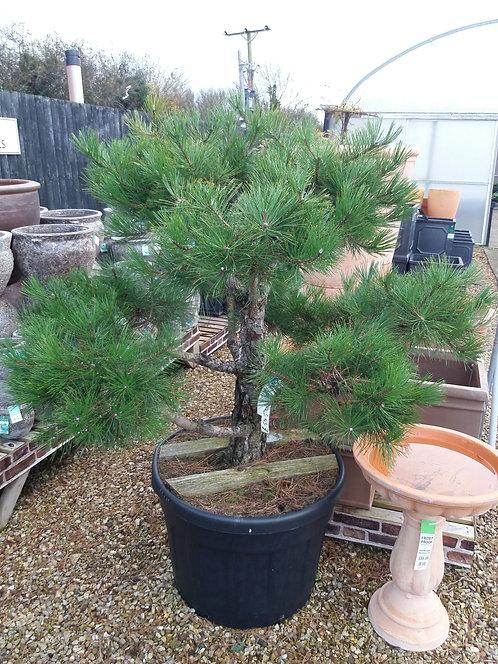 Pinus Nigra Austriaca Bonsai 110L