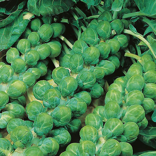 Brussel Sprouts Evesham Special 8Pack