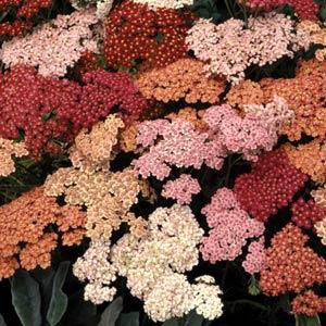 Achillea Summer Berries 3L