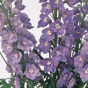 Delphinium Guardian Lavender 3L