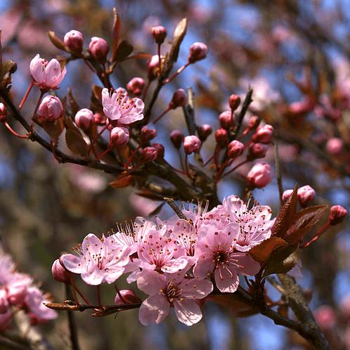 Prunus cer. 'Pissardii' 12L