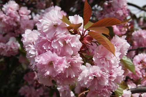 Prunus 'Kanzan' 12L