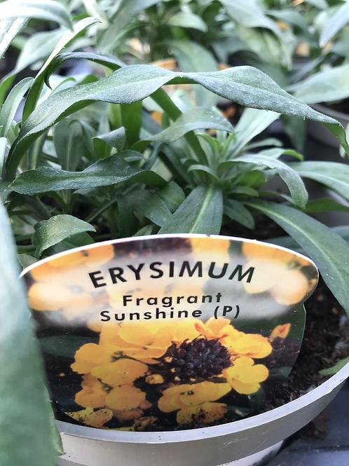 Erysimum Fragrant Sunshine 1.5L