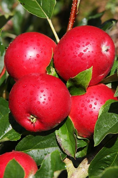 Apple Scrumptious Bush M26 12L