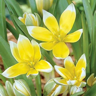 Tulip Tarda 9cm