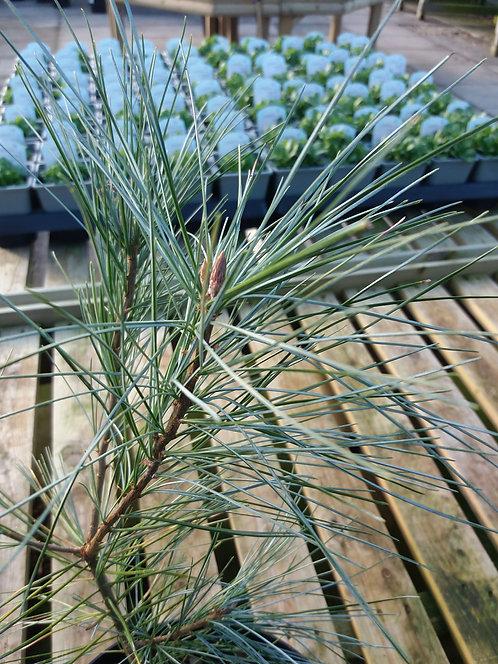 Pinus strobus Himmelblau 3L