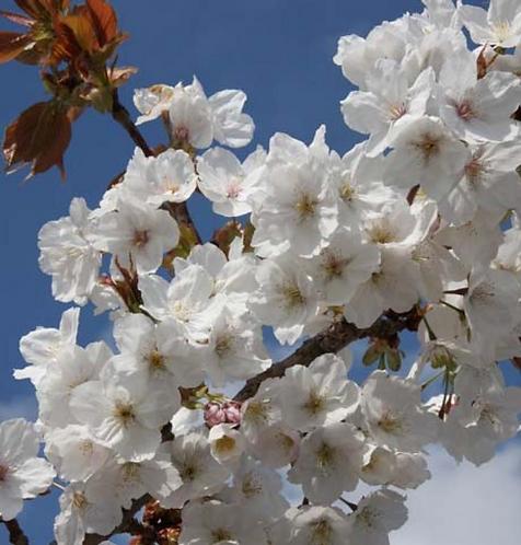 Prunus 'Tai-haku' 12L