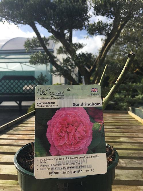 Peter Beales Modern Shrub Rose 'Sandringham'