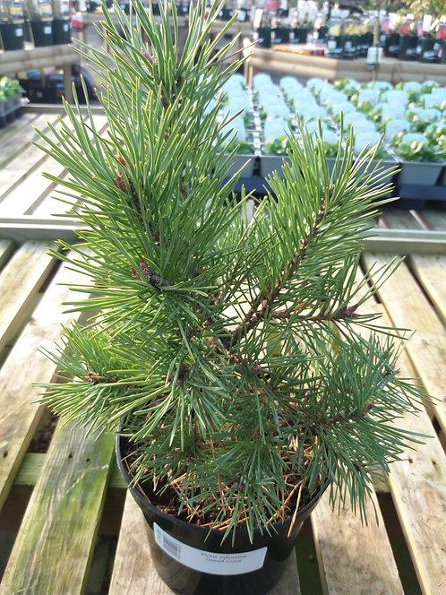 Pinus sylvestris Green Cone 3L