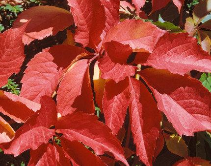 Parthenocissus quinquefolia 3L