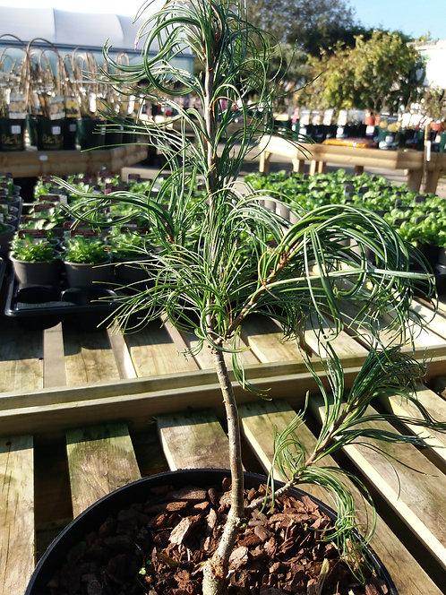 Pinus strobus Contorta 3L