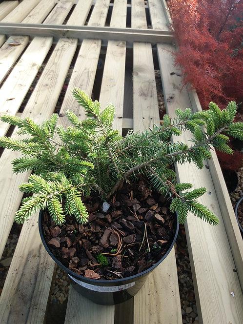 Picea pungens Sonia 3L