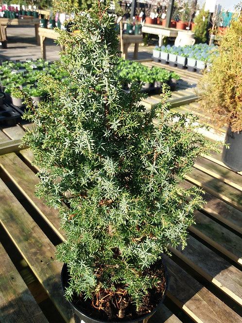 Juniperus communis Sieben Steinhauser 3L
