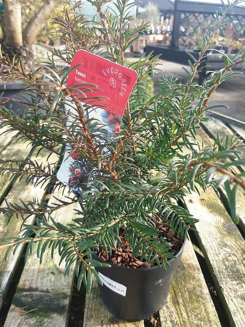 Taxus baccata 3L