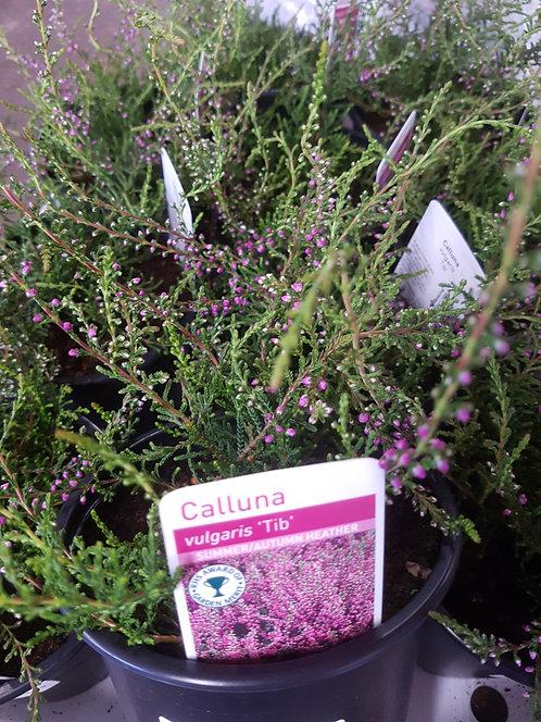 Calluna vulgaris 'Tib' 1L