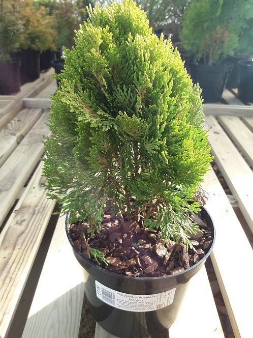 Platycladus orientalis Morgan 3L