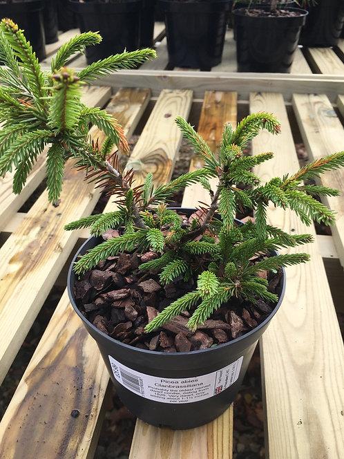 Picea abies Clanbrassiliana 2L