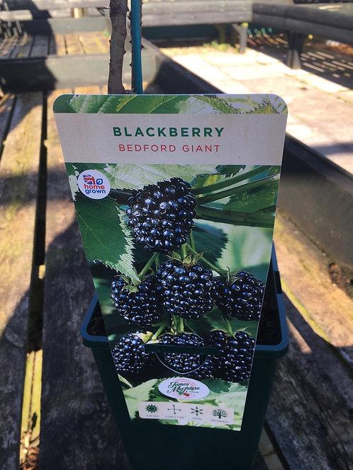 Blackberry Bedford Giant 3L