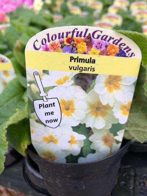 Primrose Pale Yellow
