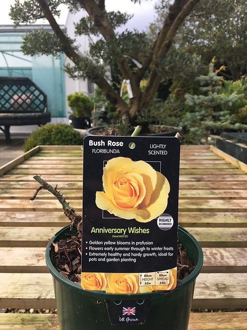 Rose Floribunda 'Anniversary Whishes'