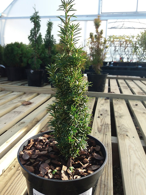Taxus baccata Icicle 1.5L