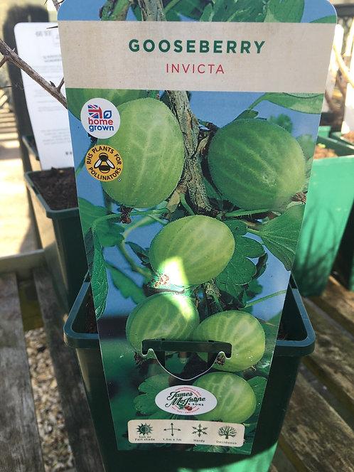 Gooseberry Invicta 3L