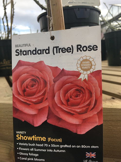 Rose Standard (Tree) 'Showtime'