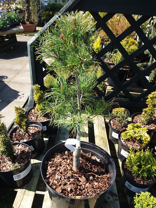 Pinus parviflora Schoons Bonsai
