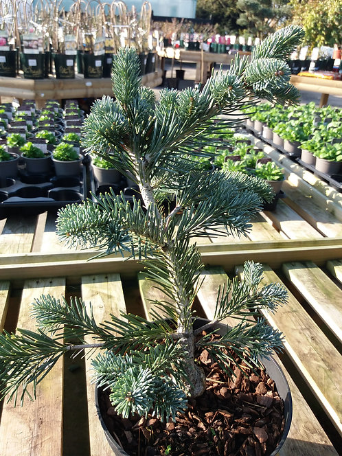 Abies arizonica Kenwith Blue 3L