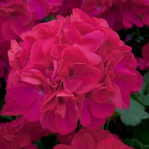 Geranium Designer Purple Rose 14cm